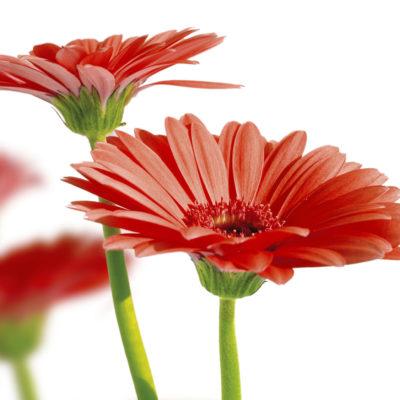 Gerbera Blumen